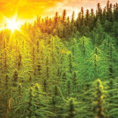 cannabis carbon trading
