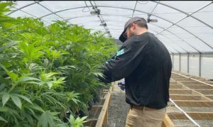 Image of someone scouting a cannabis crop