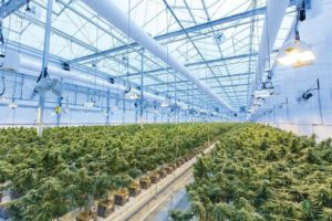 Image of a cannabis cultivation facility