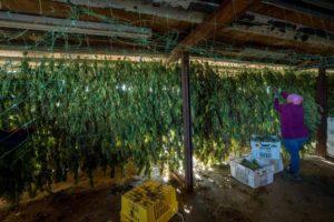 Image of hang-drying cannabis