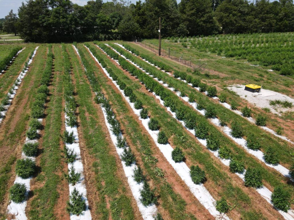 , How supplemental lighting can be used for outdoor hemp cultivation